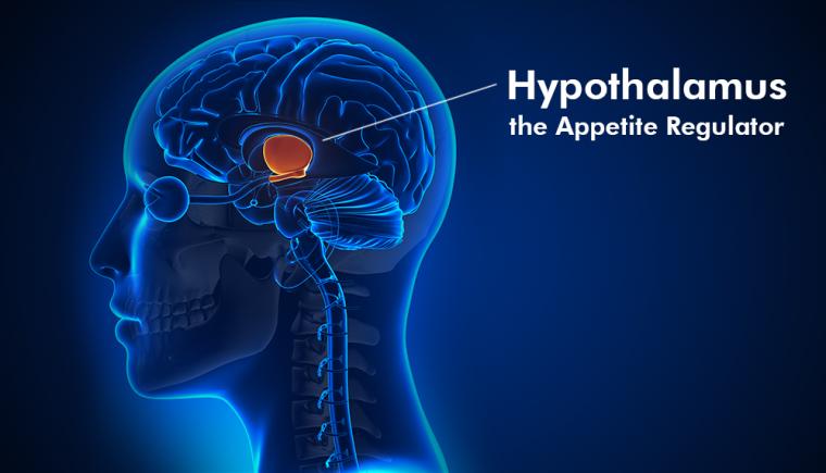 hypothalamus appetite
